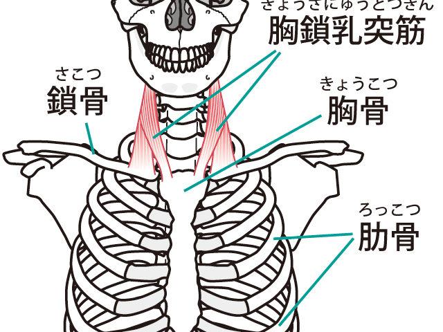 胸骨と肋骨について